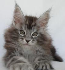 jarett 8 weeks old maine coon breeder os