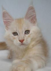 allie red cream maine coon kitten volusi