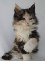 wala 8 week old maine coon 1.jpg