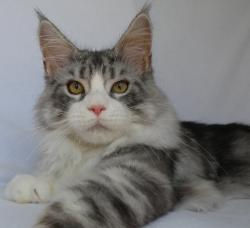 karmascoons maine coon kittens for sale florida