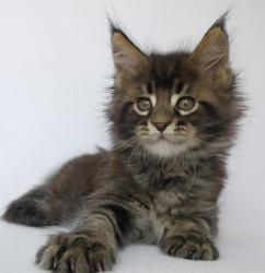 patton maine coon kitten osteen fl 2.jpg