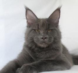 cesaria girl black smoke maine coon bree