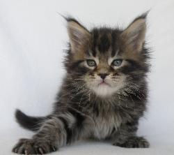 xara 5 week old maine coon kitten 1.jpg