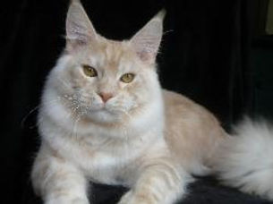 karmascoons maine coon kittens for sale Fl