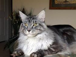 Maine coon kittens for sale armani 2.jpg