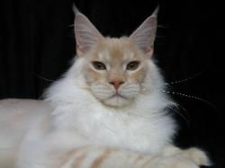 Maine coon kitten for sale milan 1.jpg