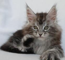 jarett 8 weeks old maine coon breeder or