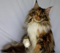 Maine coon kitten for sale whitney 2.jpg
