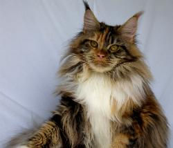 whitney girl maine coon kitten for sale.