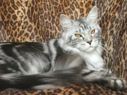 Maine coon cat osteen fl captiva 2.jpg