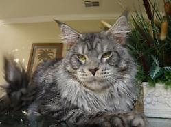Maine coon kitten for sale machias 1.jpg