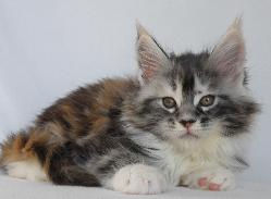 Whitley silver patch female maine coon k