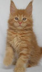 aspen red maine coon cat for sale florid