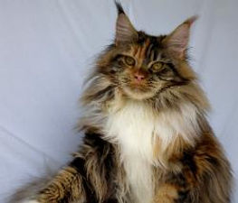 Karmacoons maine coon kitten breeder Whi