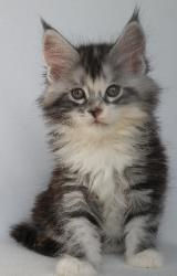 Wylie maine coon for sale 2.jpg