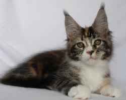 gaia brown with white mc kitten 1.jpg