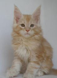 victor cream maine coon kitten breeder f