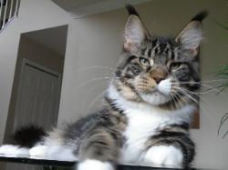 Maine coon kitten for sale romeo 2.jpg