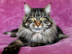 belle 2 maine coon kitten.png