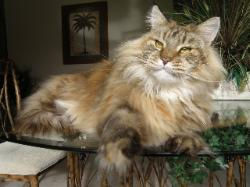 Maine coon kittens for sale winona 2.jpg