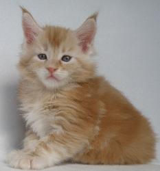 red male maine coon kitten baron 2.jpg
