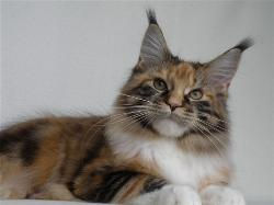 Maine coon kitten for sale gemma 2.jpg