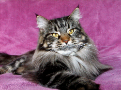 belle 1 maine coon kitten.png