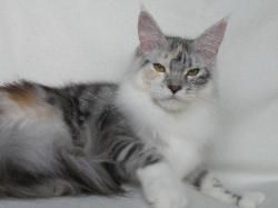 Maine coon kitten for sale isis 1.jpg