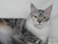 Maine coon kitten for sale isis 2.jpg