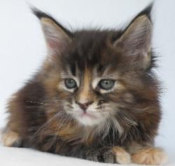brina brown maine coon tabby female oste