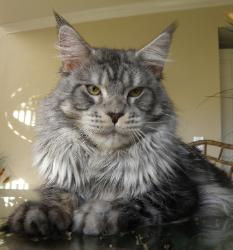 Maine coon kitten for sale machias 2.jpg
