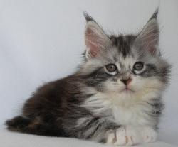 Wylie maine coon for sale 1.jpg