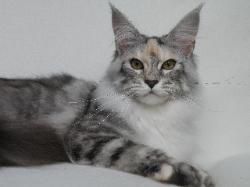 Maine coon kitten for sale journey 1.jpg
