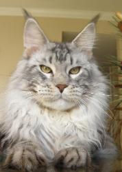 Maine coon kitten for sale riker 1.jpg