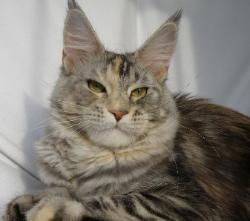 Maine coon kitten for sale yari 1.jpg