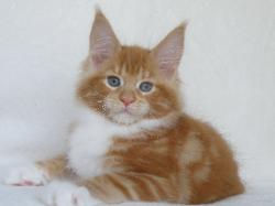 rosetta red maine coon female breeder pa