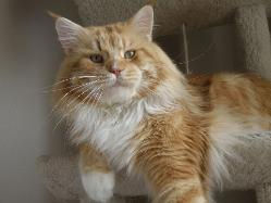 Maine coon cat florida felix 2.jpg