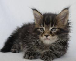 xara 5 week old maine coon kitten 2.jpg