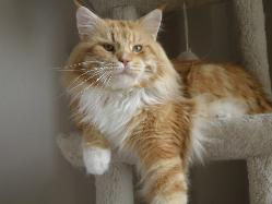 Maine coon cat florida felix 1.jpg