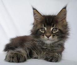 patton maine coon kitten osteen fl 1.jpg