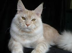 Maine coon kitten for sale chapman 2.jpg