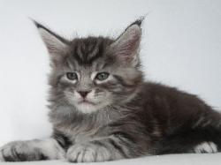 silver maine coon male kitten benson 2.j