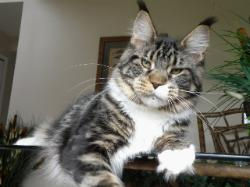 Maine coon kitten for sale romeo 1.jpg