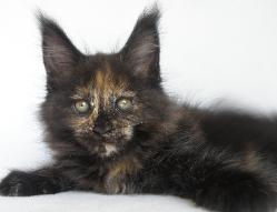 artesia black tortie maine coon female i