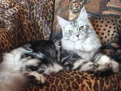 Maine coon cat florida felix mystique 1.