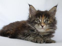 pinache 9 week old maine coon 1.jpg