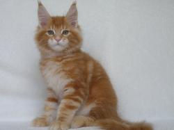 rory red male maine coon breeder osteen.
