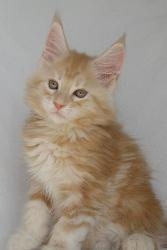 anatasia red and white female main coon