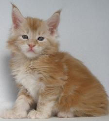 red male maine coon kitten baron 1.jpg