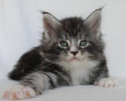 xander 5 week old maine coon kitten 1.jp